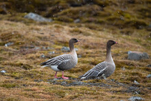 Two Pink-footed Geese On The Ground