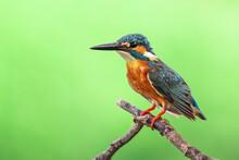 Image Of Common Kingfisher (Al...