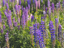 Purple Lupins Flowers In Field...