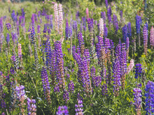 Purple Lupins Flowers In Field. Bright Blue And Purple Lupins. Horizontal Shot Cottagecore And Farmcore Concept.