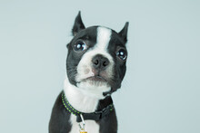 Boston Terrier Puppy Looking Up Isolated In Gray Background