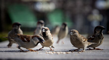 Close-up Of House Sparrows On The Ground