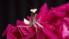 Macro Of Water Drops On Baby Praying Mantis