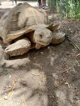 Brown Tortoise Head