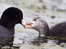 An Adult Eurasian Coot (Fulica Atra) Feeding Its Juvenile Chick Which Is Showing Its Grey Feathers On Crime Lake At Daisy Nook Country Park In Oldham, Greater Manchester