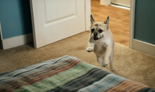 Dog Jumping On Bed At Home