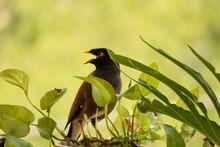 Mynah Bird And Leaves