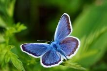 Blue Butterfly In The Green Gr...