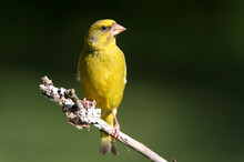 European Greenfinch Male With The Last Lights Of The Evening