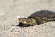 A Tortoise Crawls On The Sand In The Desert.