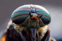 Horse-fly (Hybomitra Epistates...