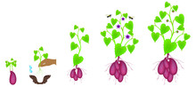 Growth Cycle Of Sweet Potato P...