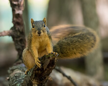 Eastern Fox Squirrel Sitting On A Branch Wagging Its Tail Rapidly Making It Appeared Blurred