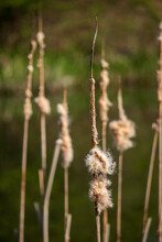 Cattail - A Genus Of Terrestrial Aquatic Plants Belonging To The Club-family (Typhaceae). It Is Found All Over The World On The Banks Of Waters. They Are Used As Edible, Weaving (leaves), Raw Material