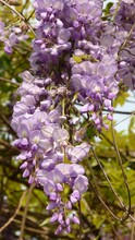 Tree Of Beautiful Purple Chinese Wisteria Flowers On A Blurred Background