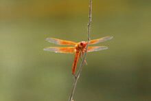 Closeup Of Underside Of Red, Orange Dragonfly On A Stick With Delicate Double Wings Open