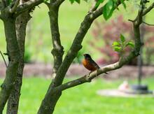American Robin Sitting On A Tree Branch