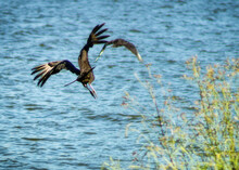 Two Vultures Flying Over Lake Conroe