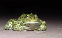 River Frog On A Paving Slab On A Black Background