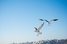 Pair Of Seagulls Flying In The...