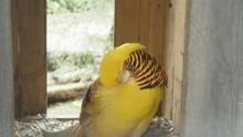 Golden Pheasant In Bird Park