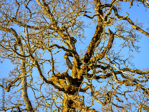Fototapeta The weird twisted and tangled branches of a leafless Garry Oak tree in the winte