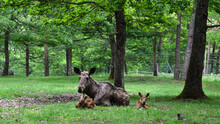A Female Elk Or Moose With These Babies In The Forest
