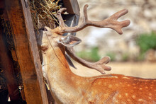 Deer Eats From A Feeding Trough . Animal With Big Horns