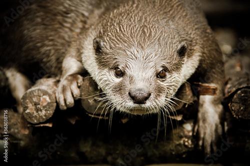 Close-up Of Otter On Wood Fototapeta