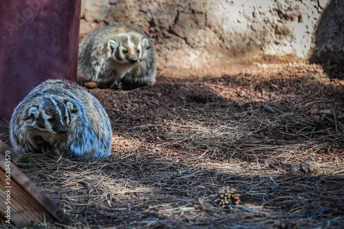 Fotografie, Tablou American Badger