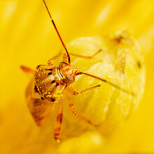 Close-up Of Lygus Bug Insect Feeding On A Matilija Poppy Flower.