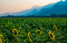 Scenic View Of Sunflower Field...