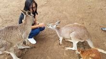 Woman Crouching By Kangaroos On Ground