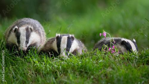 Fotografia Close-up Of Badgers On Grass