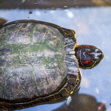The Amboina Box-turtle Or Cuora Amboinensis In The Pond, Photographed At Close Range In High Angle View With Blurred Background.