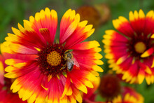 A Bee Collects Nectar And Feeds On A Bright Summer Indian Blanket Flower. Against A Blurred Background, Another Flower Is Visible.