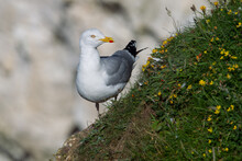 Herring Gull Stands On A Grass Slope Covered In Summer Flowers Bempton Cliffs, Near Flamborough Head, East Yorkshire, UK