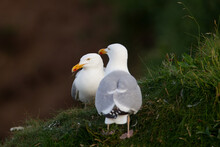Herring Gull Stands On A Grass...