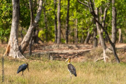 Photo Lesser adjutant stork or Leptoptilos javanicus at bandhavgarh national park or t
