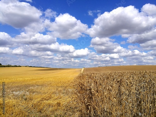 Fotomural Crop Fields On Sunny Day With Blue Sky And Clouds- East Anglia Uk England