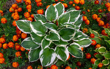 Host Flower With White-green Leaves Grows In A Flower Bed In A Country Garden Framed By Red-orange Marigold Flowers. Sunlight.