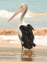 Pelikan Am Strand In Australien