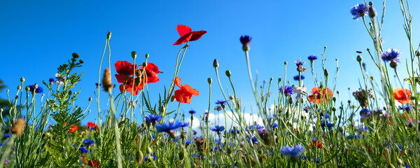 Natural flower meadows landscape Colorful natural flower meadows landscape with blue sky in summer. Habitat for insects, wildflowers and wild herbs on a flower field. Background panorama with short de
