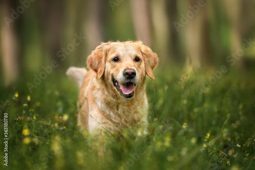 Fototapeta happy golden retriever dog walking in the forest in summer obraz