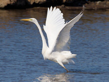 Great White Egret, Ardea Alba, Taking Off With Wings Outstretched From The Water On A Marsh. Taken At Lodmoor UK