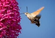 Humming Bird Hawk Moth, Macrog...