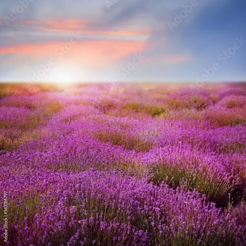 Fototapeta Beautiful view of blooming lavender field at sunset obraz na płótnie
