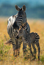 Plains Zebra Stands With Foal Eyeing Camera