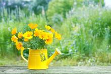 Gentle Bright Flowers Escholzia In Yellow Watering Can. Eschscholzia (Eschscholzia Californica) Flowers, Summer Garden.