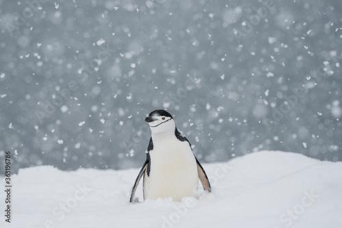 Fototapeta Chin strap penquin in the snow Half Moon Island Antarctica.